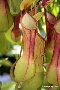 Nepenthes..JPG