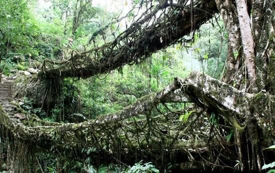 Living_Root_Bridges_in_India_2.jpg