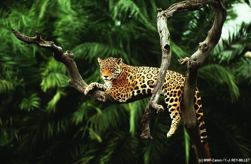 7474-jaguar-pantanal_997049.jpg