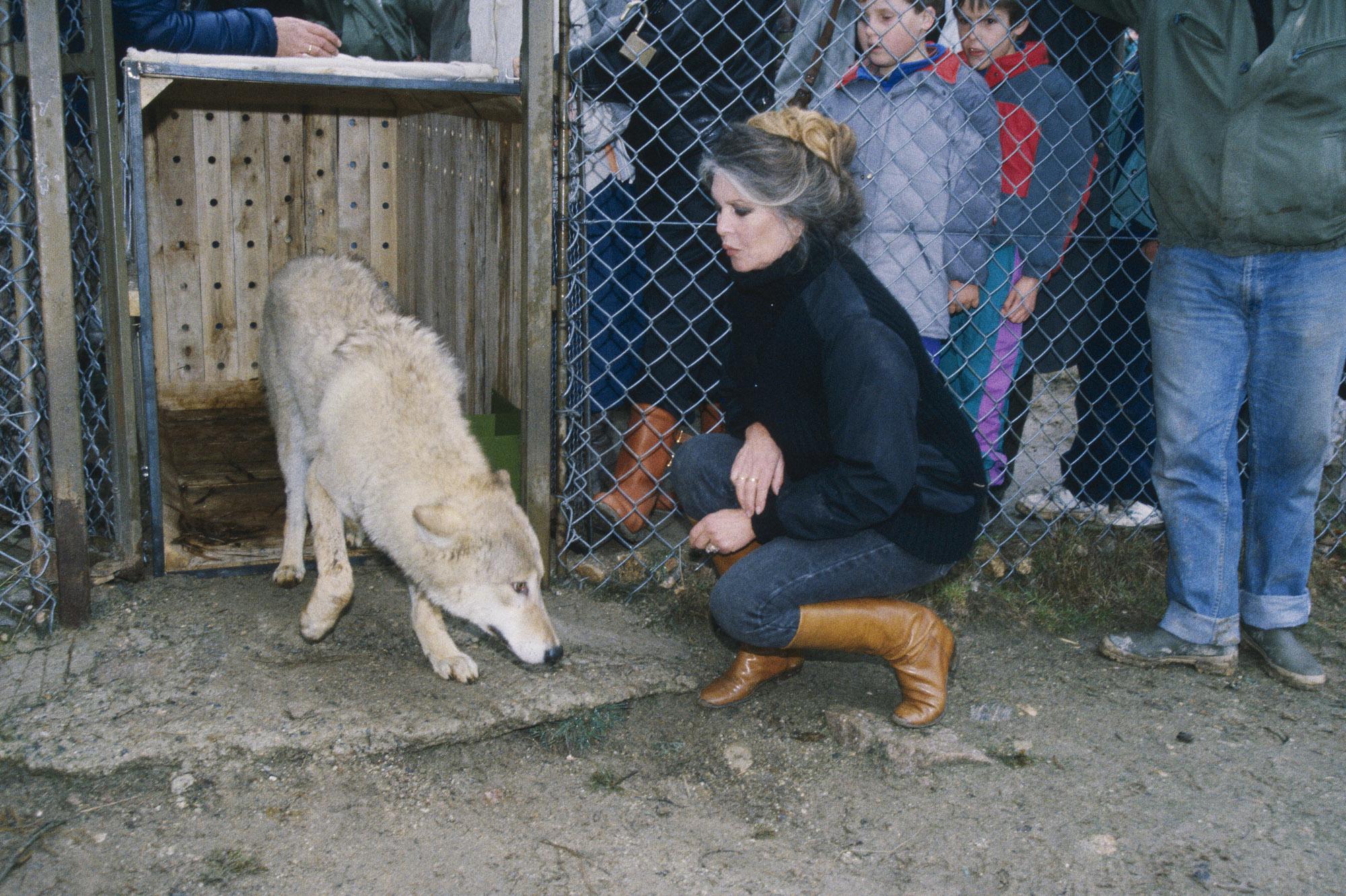 """Brigitte BARDOT installe dans le parc animalier de Marvejols, ‡ Sainte-Lucie, en LozËre, 80 loups qui croupissaient dans un zoo de Budapest en Hongrie. Ici, elle dÈlivre la louve """"Ma Mie"""" de sa cage, ‡ son arrivÈe dans le parc. Mars 1991."""