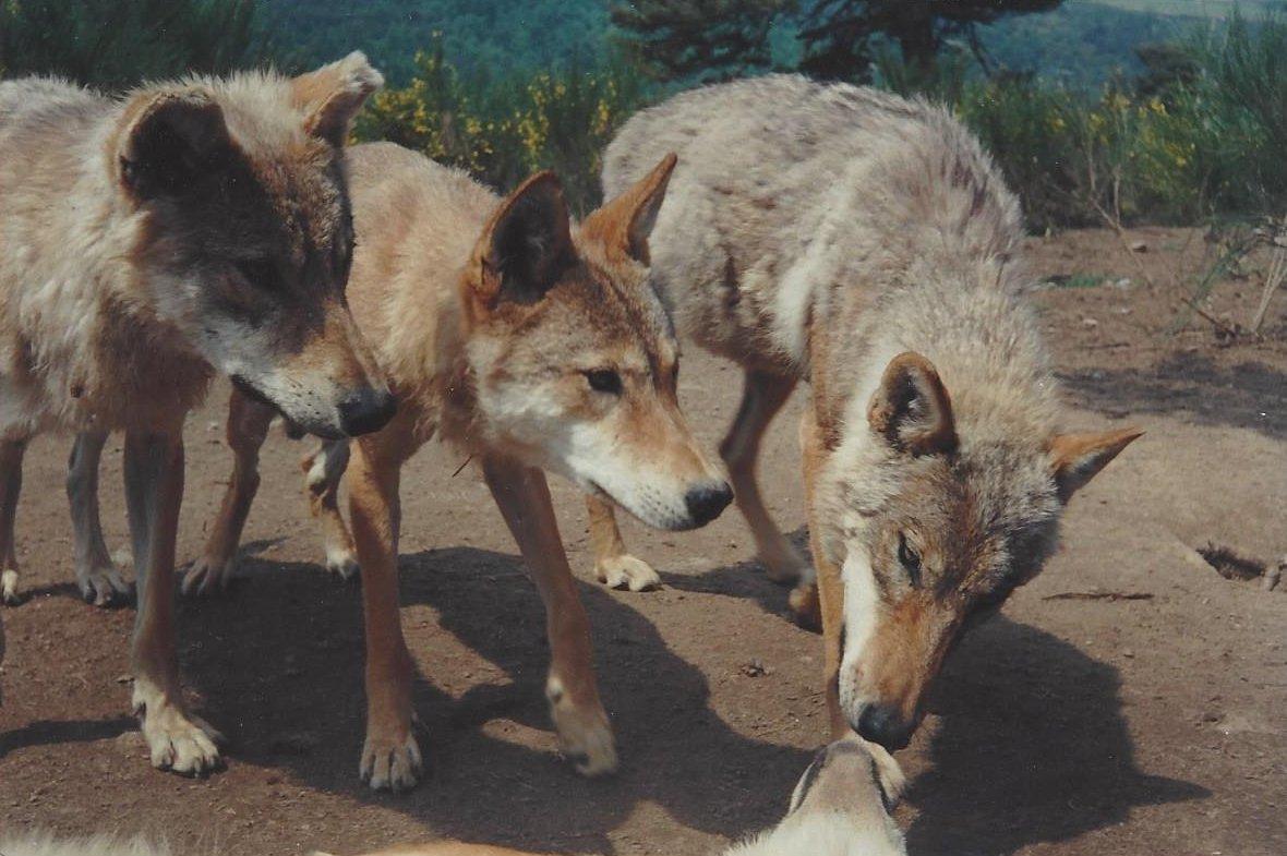 trois loups